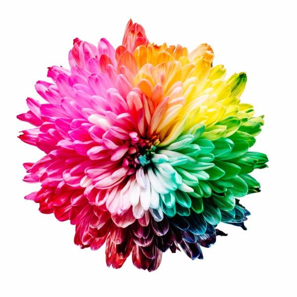 Kleurrijke bloem van boven gezien op een witte achtergrond.